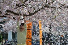Kirschblüten auf dem Campus der Universität Göttingen im Frühling 2013.