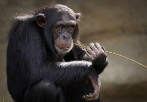 chimpanzee-3703230_640